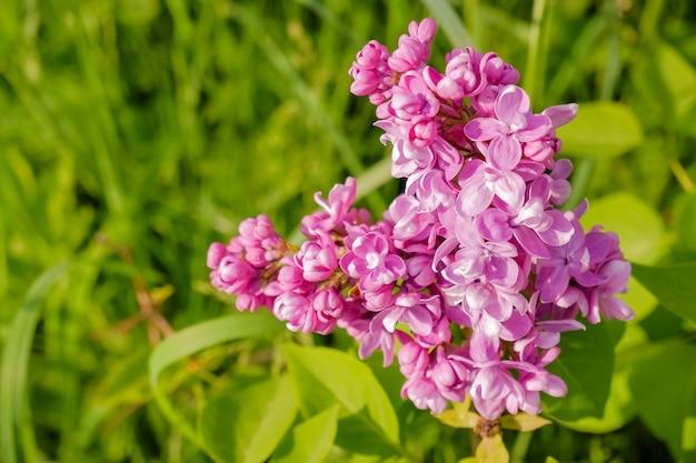 Paarse lila met witte randen. sensation lila. mooie bos van paarse bloemen close-up. bloeiende rassen selectie tweekleurige lila syringa. het soort sensatie