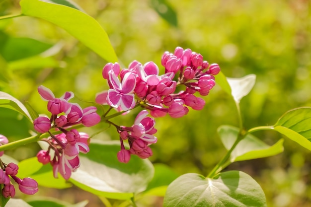 Paarse lila met witte randen. sensation lila. mooie bos van paarse bloemen close-up. bloeiende rassen selectie tweekleurige lila syringa