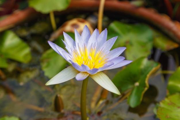 Paarse lotus in de tuin