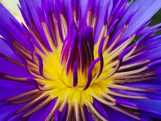 Paarse lotusbloem de lotusbloem is een belangrijk symbool in de aziatische cultuur.