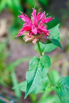 Paarse monarda roze bloem close-up