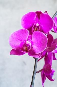 Paarse orchideebloem phalaenopsis, phalaenopsis of falah op een grijs
