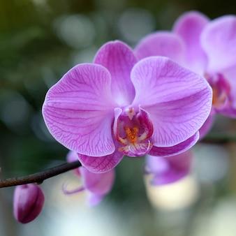 Paarse orchideebloem phalaenopsis phalaenopsis of falah paarse phalaenopsis bloemen aan de rechterkant bekend als vlinderorchideeën
