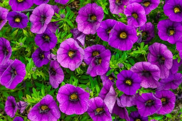 Paarse petunia's in een bloembed op een achtergrond van gebladerte