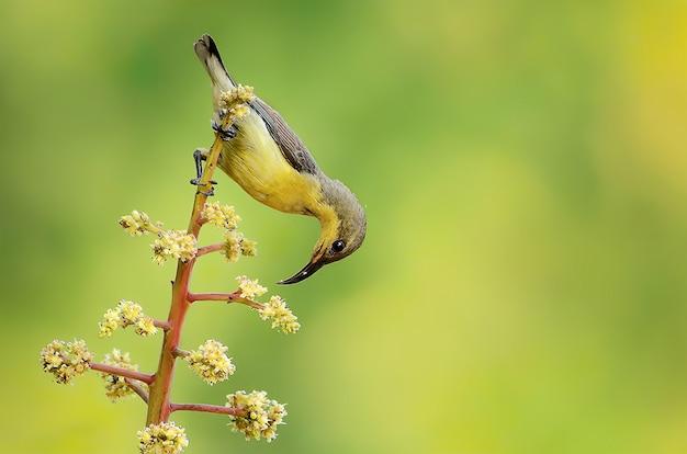 Paarse sunbird vrouw