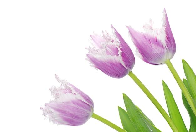 Paarse tulpen geïsoleerd op een witte muur