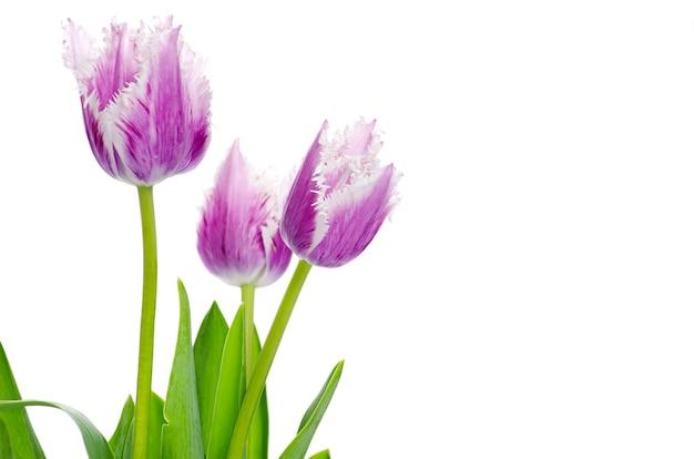 Paarse tulpen geïsoleerd
