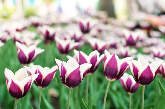 Paarse tulpen variëteit. violet tulpen