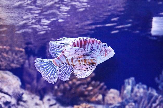 Paarse vis met stenen