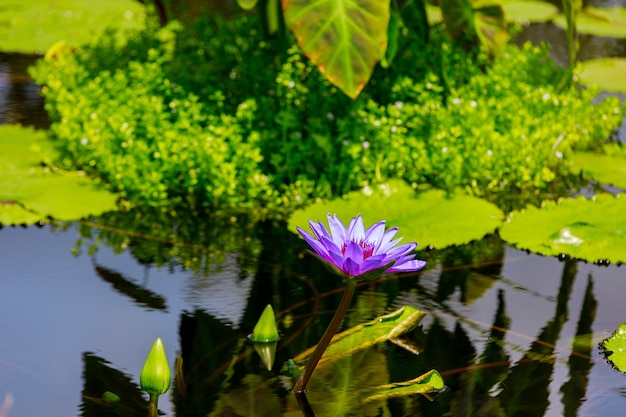 Paarse waterlelie in meer met blad. natuur bloem.