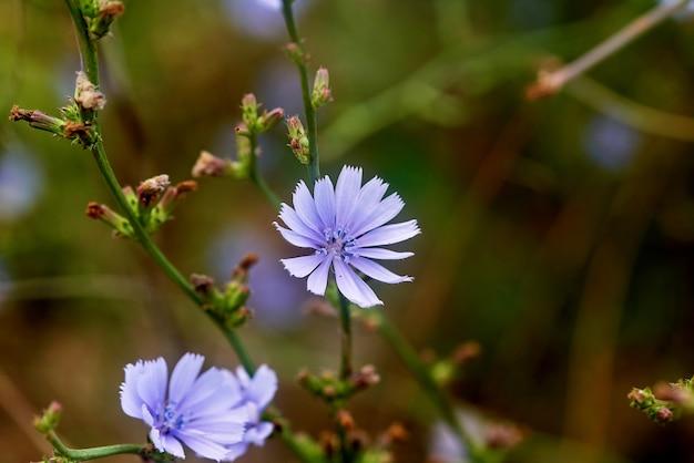 Paarse wilde bloemen close-up op wazig groen gras