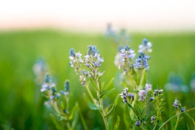 Paarse wilde bloemen in het gras