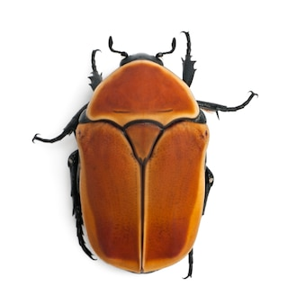 Pachnoda marginata, een soort kever, bloemkever,