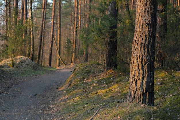 Pad door europees dennenbos op een zonnige dagavond.