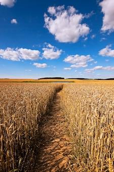 Pad in het veld dat mensen vertrappeld pad passeren door een landbouwgebied met rogge