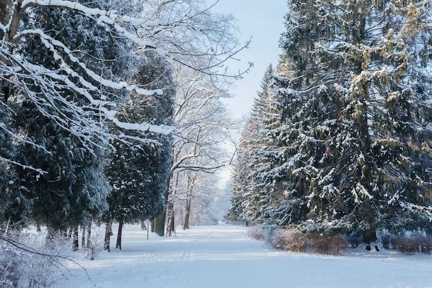 Pad tussen de gigantische sparren bedekt met sneeuw op yelagin island in sint-petersburg, rusland.