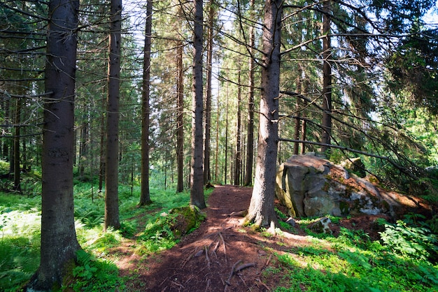 Pad tussen overblijvende sparren in het bos