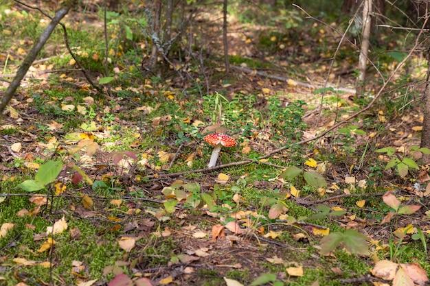 Paddenstoel amanita muscaria, een rode jonge paddenstoel die in de herfst in het bos groeit. giftige hallucinogene paddenstoel, behandeling van wormen voor wilde dieren