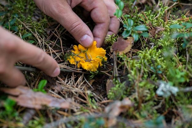 Paddestoel cantharel in het bos en de handen van mannen die het snijden
