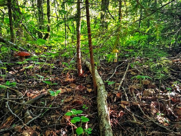 Paddestoel groeit in de buurt van een boom in het gras in het bos verlicht op een zonnige herfstdag