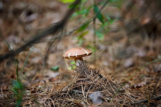 Paddestoel in het bos, in een natuurlijke omgeving, tussen naaldboomnaalden en groene binken