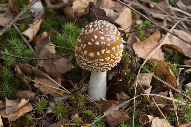 Paddestoel met bruine hoed en witte vlekken in het herfsthout en bruine bladeren