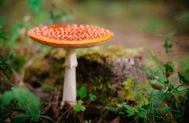 Paddestoel rode vliegenzwam giftig en niet eetbaar close-up bos natuur achtergrond kopie ruimte