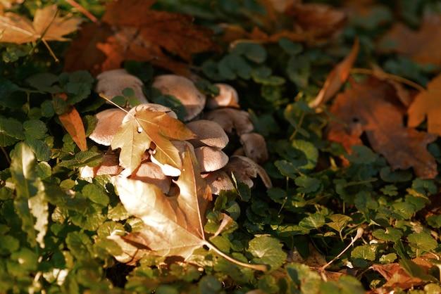 Paddestoelen in het bos onder de bladeren.