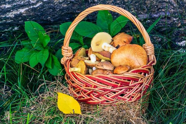 Paddestoelen in rieten mand met stam van omgevallen boom op de achtergrond. net paddenstoelen geoogst. bospaddestoelen