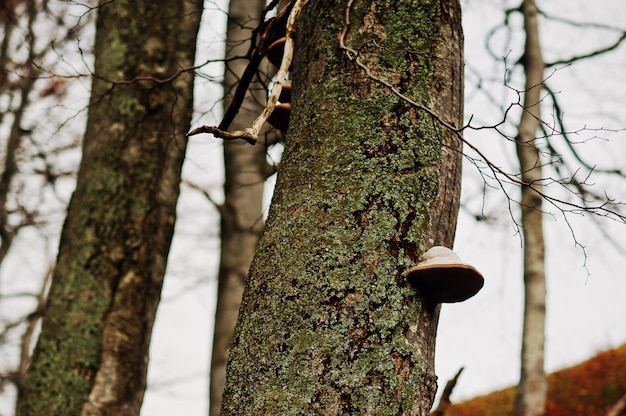 Paddestoelparasietpaddestoel op de schors van bomen