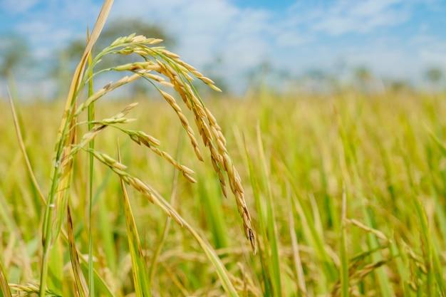 Paddy rice-gebied in noord-thailand, ruwe van het aardvoedsel exemplaarruimte als achtergrond