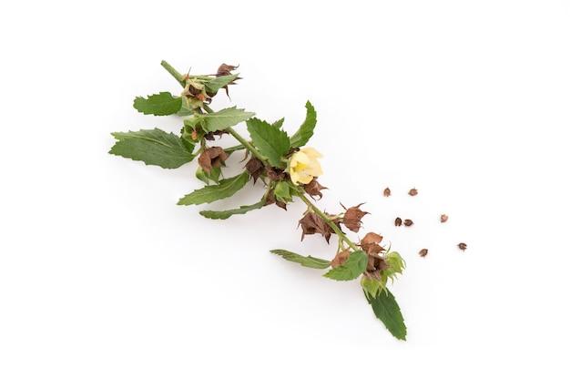 Paddy's luzerne of sida rhombifolia tak geïsoleerd op natuurlijk.