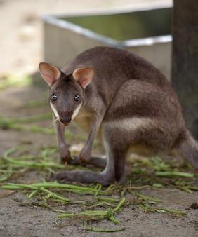 Pademelon met rode poten (kleine kangoeroe-variëteit) staart naar camera met dierentuin als achtergrond