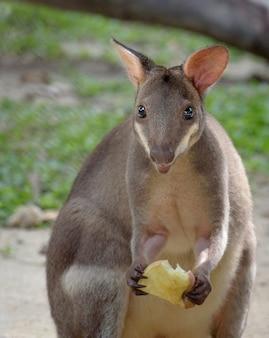 Pademelon met rode poten (kleine kangoeroeverscheidenheid) met voedsel in zijn hand, close-upportret