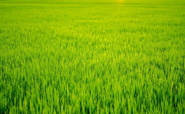 Padiegebieden voor groene achtergrond