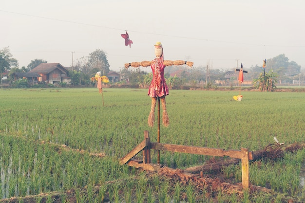 Padiepadieveld in thailand