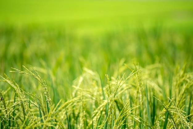 Padieveld groene landbouw ecosysteem aziatische rijstveld veld vietnam groene boerderij. oogst landbouw aanplant cultuur gouden groene rijst terrassen in biologische boerderij met tropische natuurlijke zonsopgang.