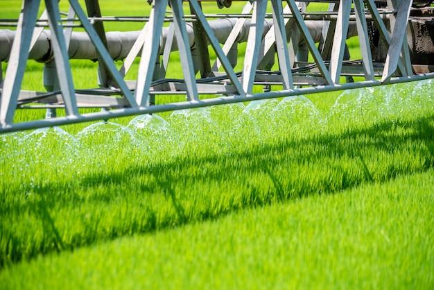 Padieveld groene landbouw ecosysteem. het water geven van padieveldgebied in groen landbouwbedrijf.