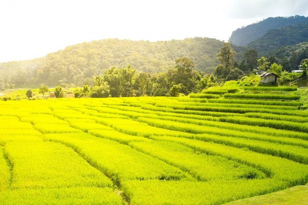 Padieveld in chiang mai, thailand.