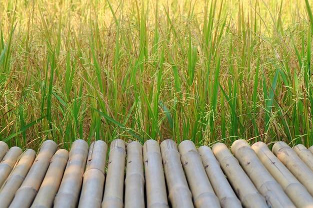 Padieveld met bamboegang en zonlicht in de zomertijd. natuur en landbouw.