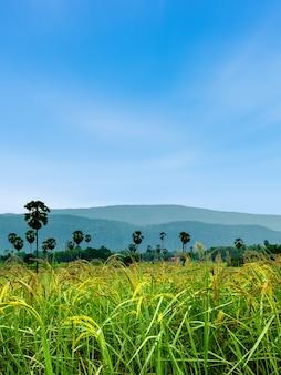 Padieveld met bergen natuurlijke achtergrond.