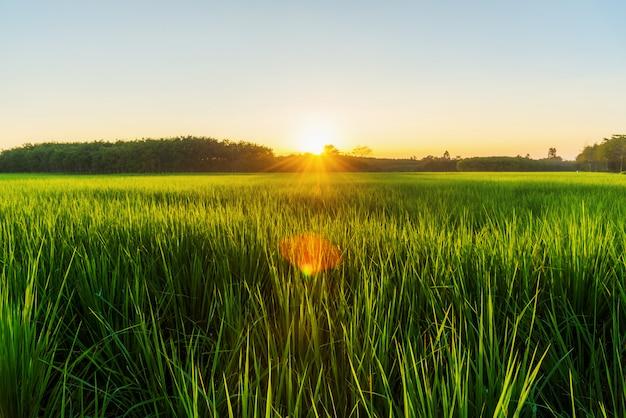 Padieveld met zonsopgang of zonsondergang in moning licht