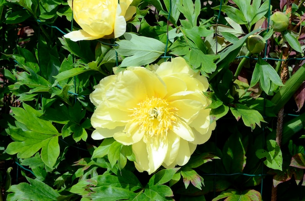 Paeonia-bloem