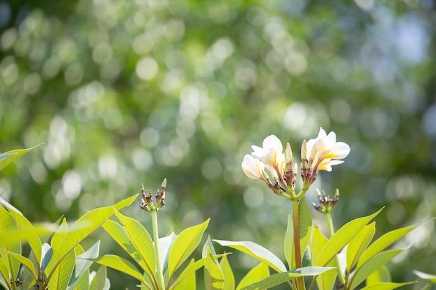 Pagodebloem of plumeria met groene vage achtergrond.