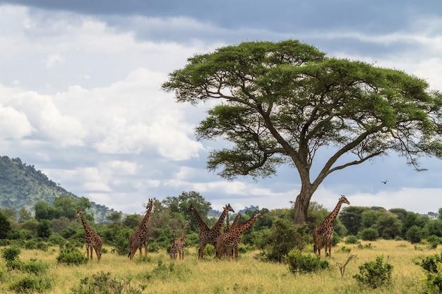 Palissade van nek. zeer grote kudde giraffen. tarangire, tanzania