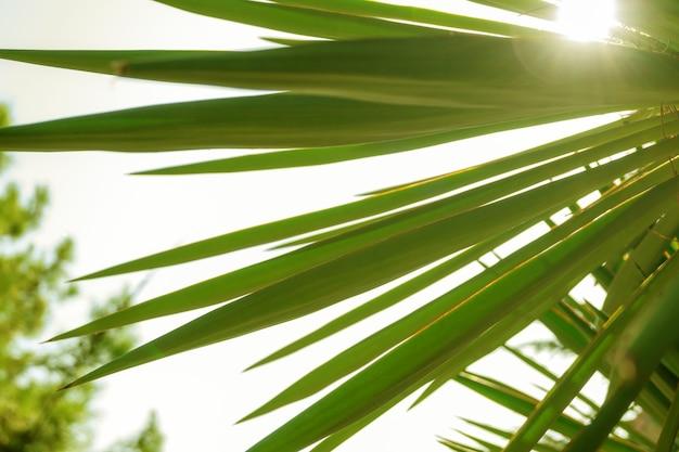 Palm bladeren achtergrond met schaduw tegen de zon buitenshuis. groene waaierpalm close-up.