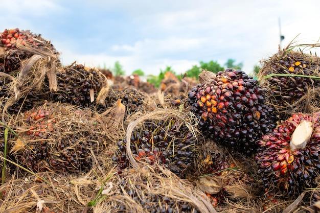 Palm fruit, close-up van palmoliezaden.