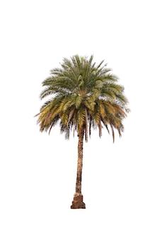 Palm geïsoleerd op wit
