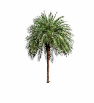 Palm in tuin op witte achtergrond wordt geïsoleerd die
