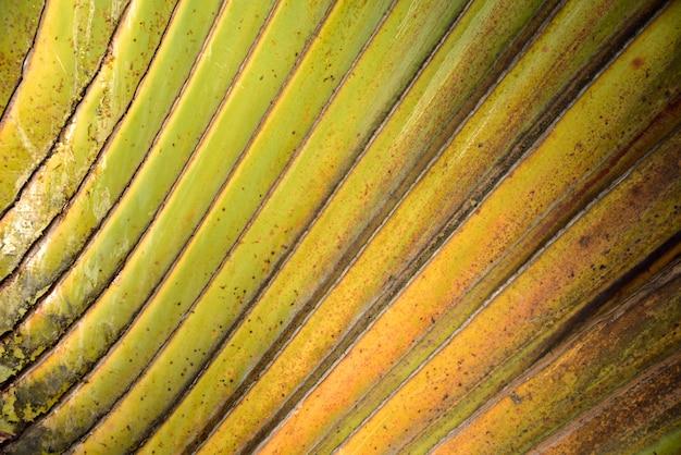 Palm lijn sierboom groene en gele kleur